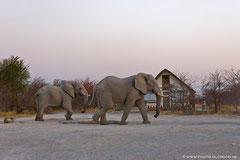 Zwei Elefantenbullen kommen in der Abenddämmerung immer zum Trinken an das Waschhaus. Ein offener Gullideckel gibt den Weg zum kostbaren Nass frei. Wer gerade im Waschhaus ist, muss nun warten...
