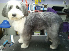 Bearded collie na