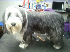 Bearded collie voor