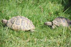 Griechische- Landschildkröten