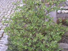 Die Honigbeere blüht bereits im Winter.