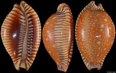 Cypraea guttata surinensis (Thailand, 44,0mm)