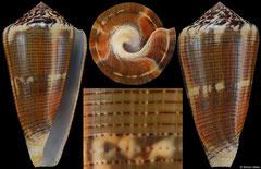 Conus magus circae (New Caledonia, 58,0mm)