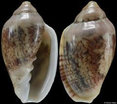 Marginella lussii (South Africa, 29,5mm)