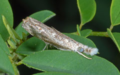 Grass moth (Crambidae sp.), Mactan Island, Philippines