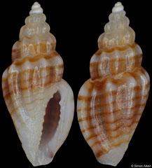 Eucithara eumerista (Philippines, 5,3mm)