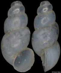 Stygobium hercegnoviense (Montenegro, 1,3mm) (paratype)