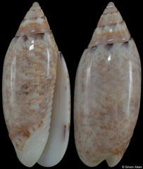 Oliva leonardhilli (Madagascar, 26,0mm)