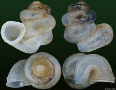 Opisthostoma fairbanksi (India, 1,6mm, 1,6mm)