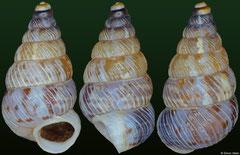 Macroceramus beatensis (Dominican Republic, 7,5mm)