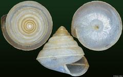 Sitala sp. (Madagascar, 8,1mm)
