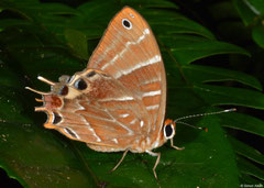 Metalmark butterfly (Saribia perroti), VOIMMA, Madagascar