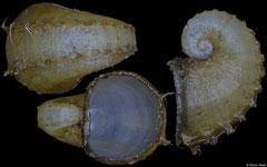 Trichamathina nobilis (Kuril Islands, 10,0mm)