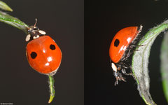 Two-spot ladybird (Adalia bipunctata), York, UK
