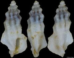 Pseudorhaphitoma jeantardyi (Philippines, 5,1mm)
