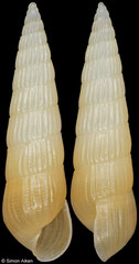 Pyrgiscus tincta (South Africa, 8,7mm)