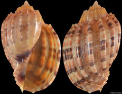 Harpa kajiyamai (Philippines, 50,8mm) F+++ €12.00 (specimens for sale are 49-51mm and are of the same quality as the specimen illustrated)