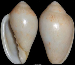 Marginella piperata (sinistral freak) (South Africa, 15mm)