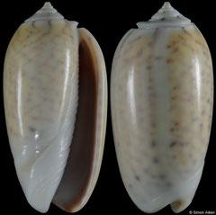 Oliva tigridella (Papua New Guinea, 29,3mm)