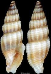 Vexillum noduliferum (Philippines, 9,2mm)