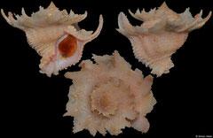Babelomurex latipinnatus (Philippines, 35,1mm)
