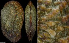 Tritogonia verrucosa (Indiana, USA, 101,0mm)