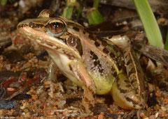 Mascarene grass frog (Ptychadena mascareniensis), Sahafina, Madagascar