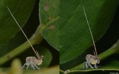 Tailed planthopper (Eurybrachidae sp.), Broome, Western Australia