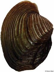 Lepidodesma languilati (China, 82mm)