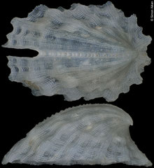 Emarginula sp. (Philippines, 6,5mm)