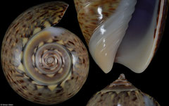 Oliva polpasta (Pacific Panama, 38,0mm)