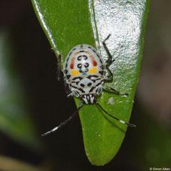 Shield bug (Pentatomoidea sp.) nymph, Andasibe, Madagascar