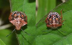 Southern green stink bug (Nezara viridula) 4th instar nymph, La Cumbre, Dominican Republic