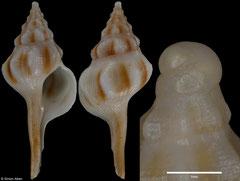 Serratifusus harasewychi (New Caledonia, 29,1mm)
