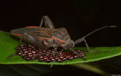 Leaf-footed bug (Coreidae sp.), Balut Island, Philippines