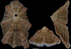 Diodora elizabethae (South Africa, 24,9mm)