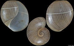 Hydatina montillai (Philippines, 36,1mm)
