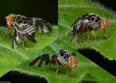 Picture wing fly (Tephritidae sp.), Samal Island, Philippines