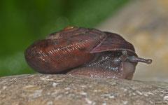 Plagioptycha strumosa (N of Polo, Dominican Republic)
