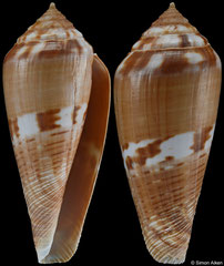 Conus mozambicus (South Africa, 45,7mm)