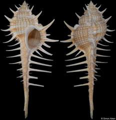 Murex kerslakae (Queensland, Australia, 85,3mm)