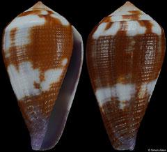 Conus scabriusculus (Philippines, 32,6mm)