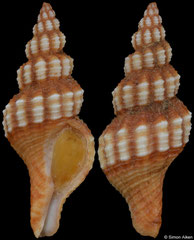 Aptyxis syracusana (Spain, 28,1mm) F++ €4.00
