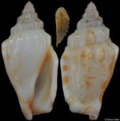 Canarium wilsonorum (Guam, 15,2mm)