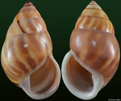 Amphidromus comes polymorpha (Vietnam, 46,8mm, 47,7mm) F+++ €5.00 (specimens for sale are 45-47mm and are of the same quality as the specimens illustrated)