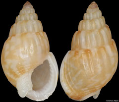 Nassarius subtranslucidus (South Africa, 8,9mm) F++ €2.50 (specimens for sale are 8-10mm and are of the same quality as the specimen illustrated)