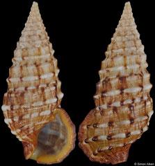 Cerithium claviforme (Marshall Islands, 26,6mm)