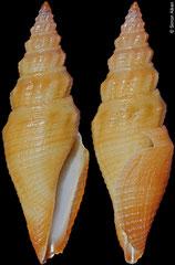Bathytoma sp. (Philippines, 21.0mm)