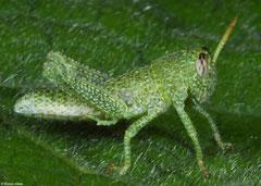 Bird locust (Cyrtacanthacridinae sp.) nymph, Fianarantsoa, Madagascar