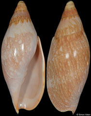 Ericusa sericata (Queensland, Australia, 102,5mm)